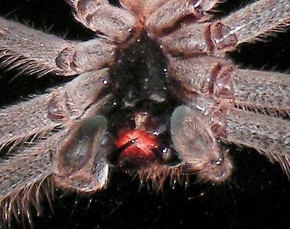 Huntsman spider close-up