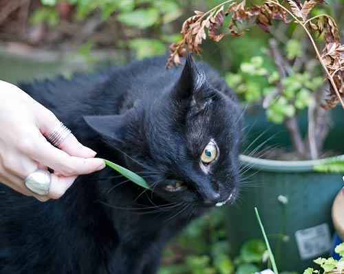 Tom munching lemongrass